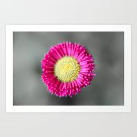 blossom-from-a-daisy-isolated-on-gray-background-prints